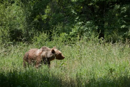 marsican_bear-1-494x329