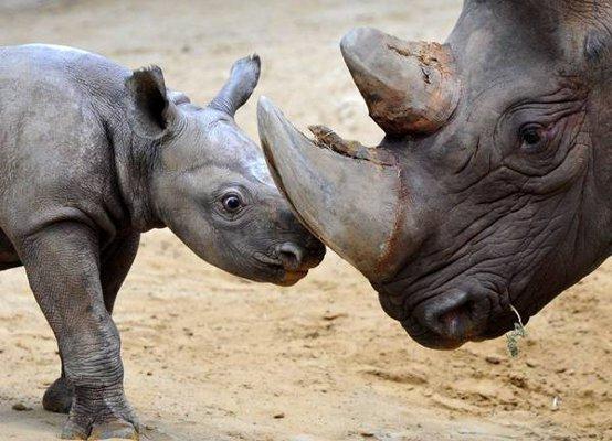 rinoceronti-1908